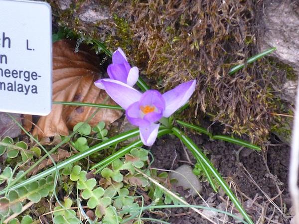 asplenium flor