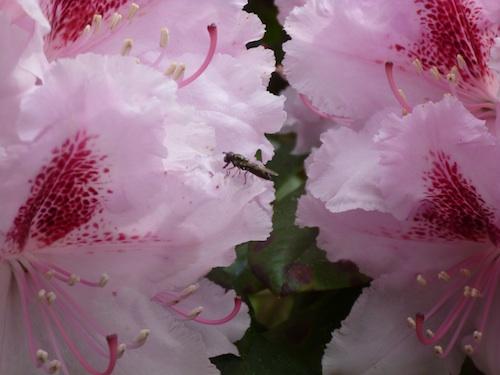 rododendro cerca