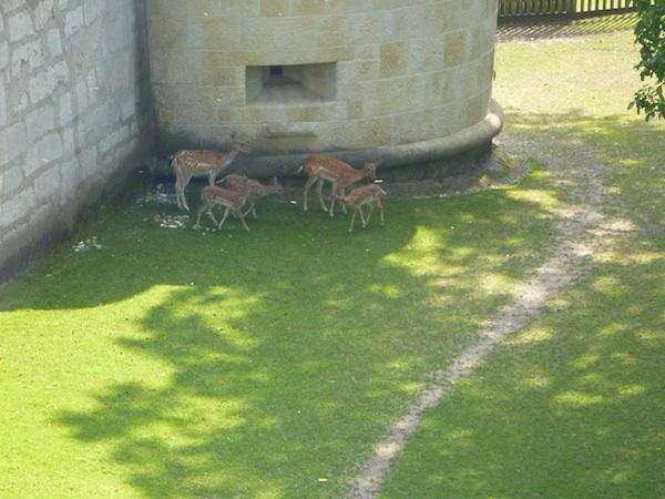 Ciervos en Munot