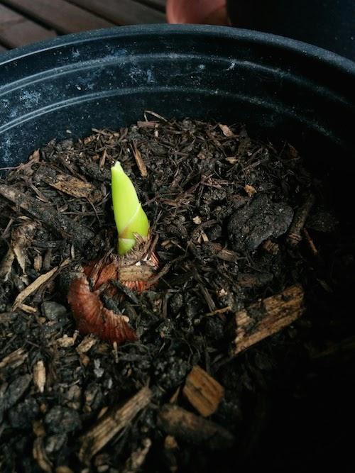 Gladiolo en tiesto 11 de mayo