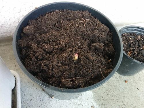 Peonia 10 de Marzo - plantada